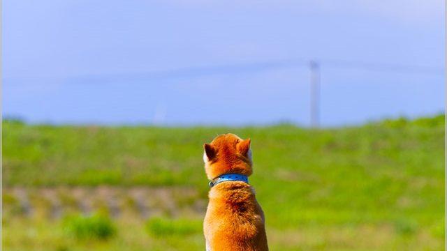 ダッシュ村 柴犬・北登 ほくと かわいい 画像