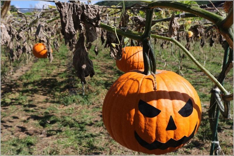 山梨県甲州市 天空かぼちゃ