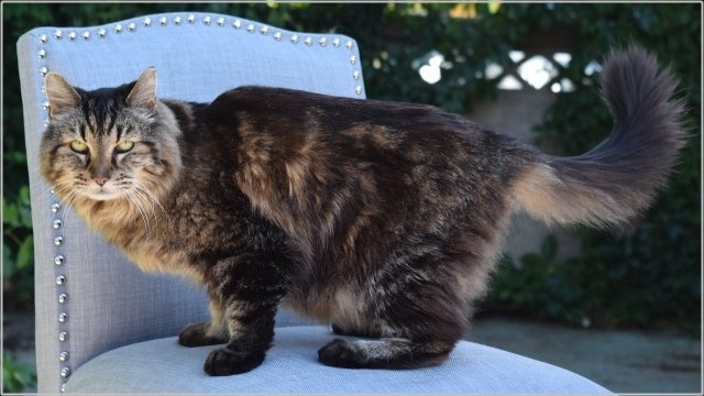 世界一長生き 猫 コーデュロイ 画像