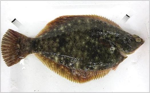 幻の魚 ヨコハマ マコガレイ